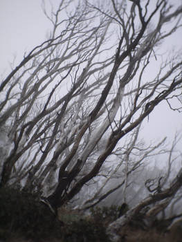 Snow gums lost in fog, Mt Hotham, Victoria