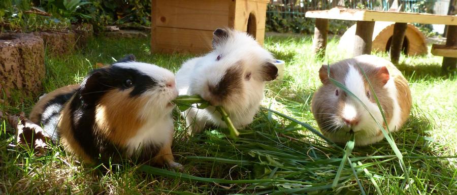 Guinea Pigs by TalaWoelfin
