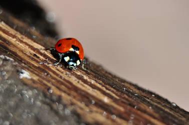 ladybug by Taz-chan