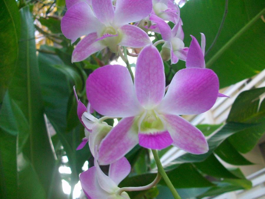Orchid by Crazygoblin21