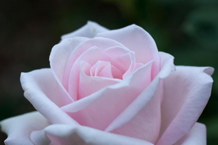 Rose Marchenkonigin by Yuumitan
