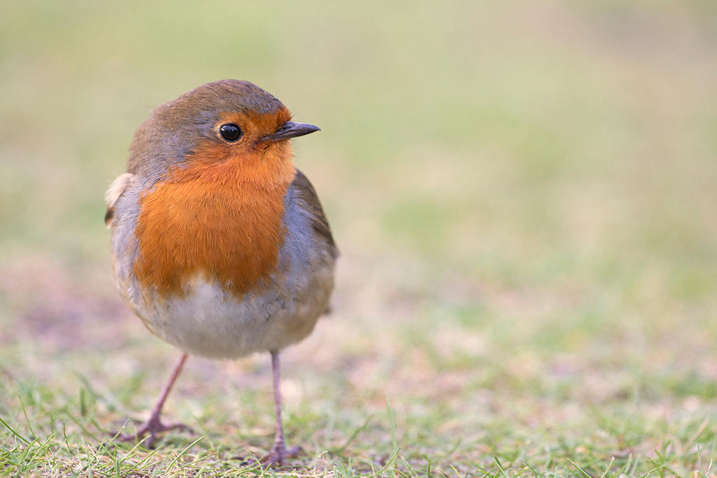 Redbreast by Th30ther0ne