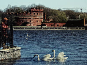 Der Dona And Swans In Koenigsberg