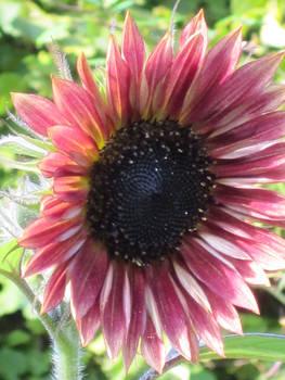 Pinkish Sunflower
