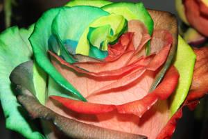 green-pink Happy Rainbow Rose by RAINBOWedROSES