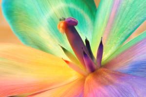 Rainbow_Tulip_Inside by RAINBOWedROSES