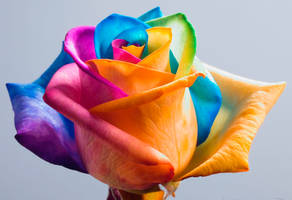 Happy Roses Rainbow Rose II by RAINBOWedROSES