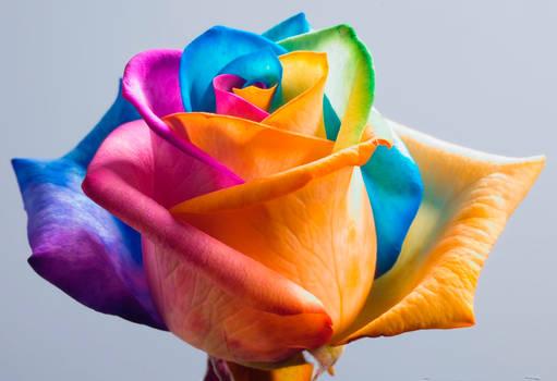 Happy Roses Rainbow Rose II