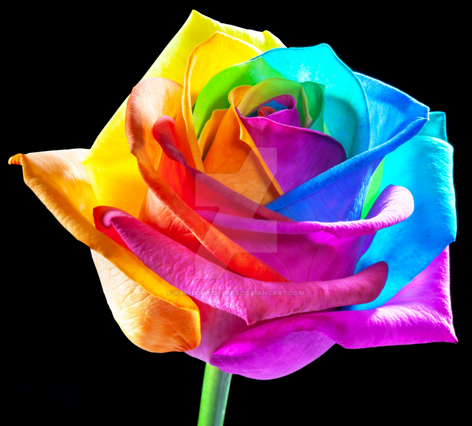 Rainbowedroses in hd perfection by rainbowedroses on for Where can i buy rainbow roses in the uk