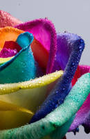 Happy Rose Rainbow Wet by RAINBOWedROSES