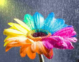 Happy Gerbera Rainbow Wet by RAINBOWedROSES