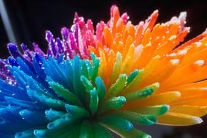 Happy Chrysant Rainbow Wet by RAINBOWedROSES