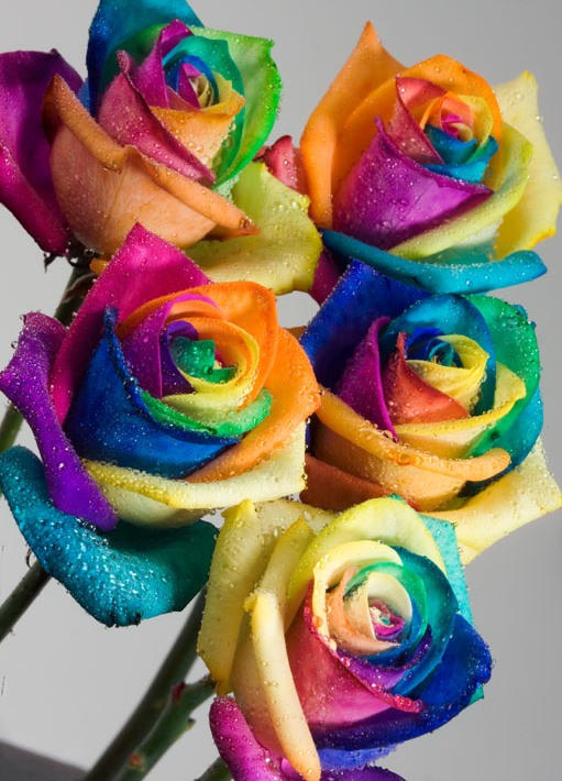 Real rainbow roses by rainbowedroses on deviantart for How much are rainbow roses
