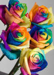 Real Rainbow Roses