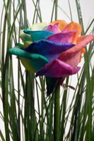 Happy Rose Rainbow in Garden by RAINBOWedROSES