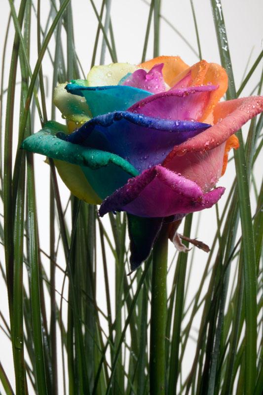 Happy Rose Rainbow in Garden by RAINBOWedROSES on DeviantArt