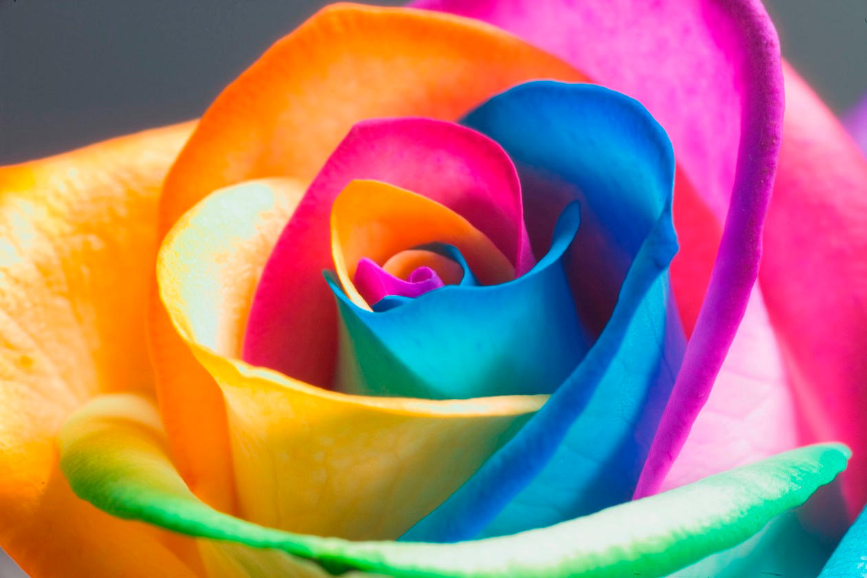 The perfect rainbow rose by rainbowedroses on deviantart for Where can i buy rainbow roses