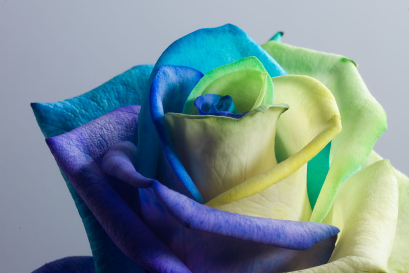 Happy roses ocean by rainbowedroses on deviantart for Multi colored rose bushes