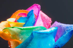 FAMOUS perfect Rainbow Rose by RAINBOWedROSES