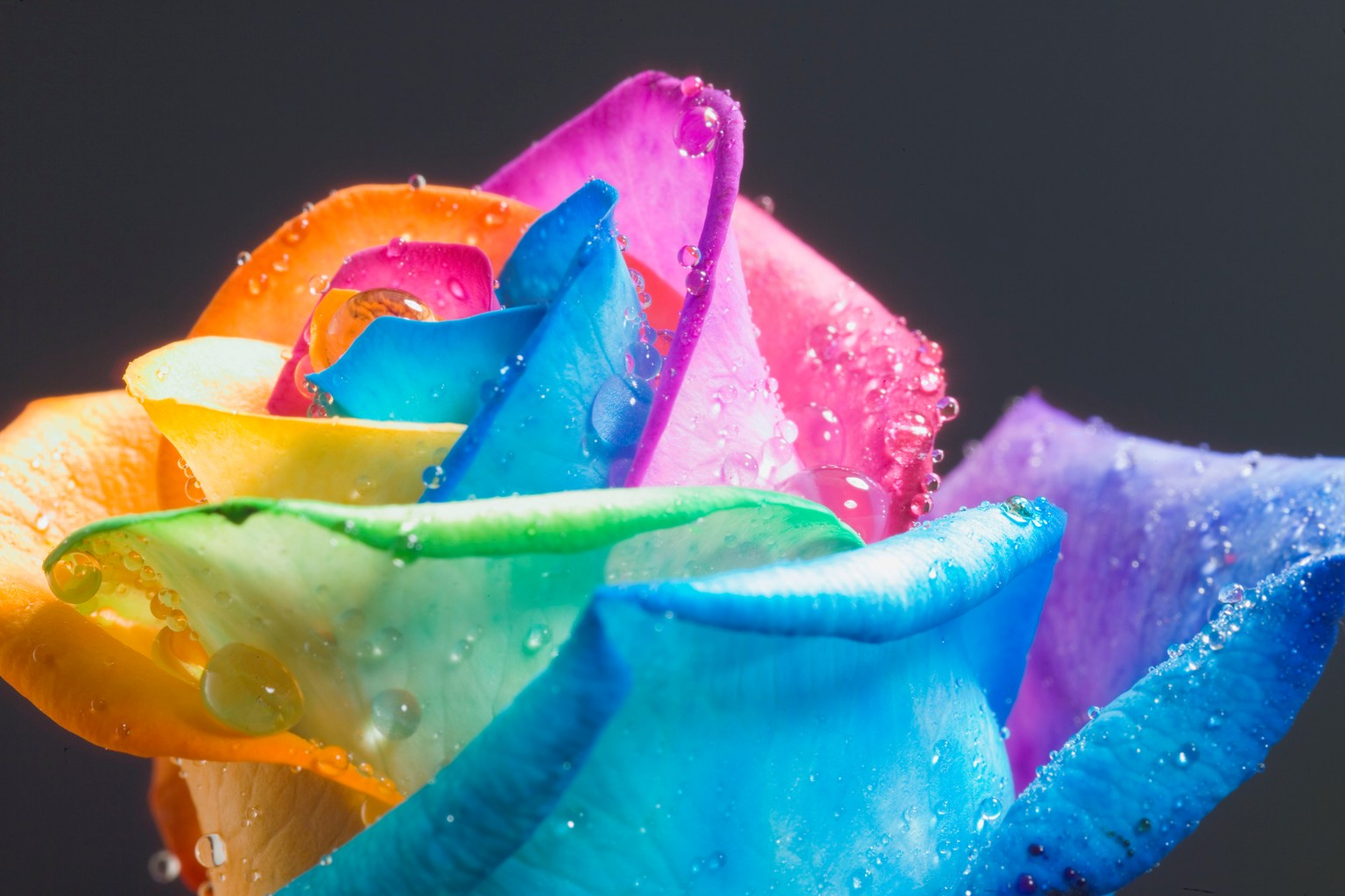 FAMOUS perfect Rainbow Rose by HappyRoses - rainbow roses
