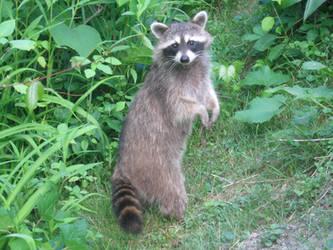 Raccoon 01 by funnybunny-stock