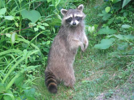 Raccoon 01