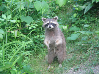Raccoon 02 by funnybunny-stock