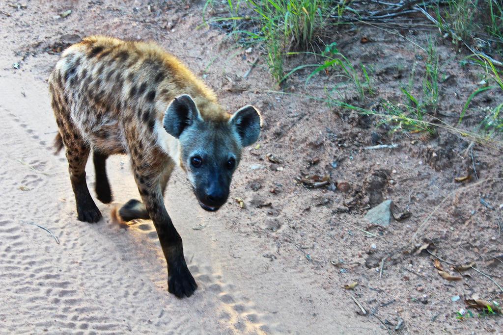 African Hyena by ZevGordoni