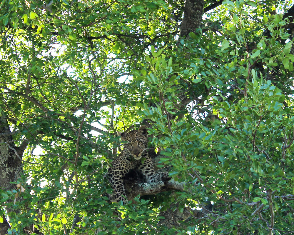 African Baby Leopard 2 by ZevGordoni