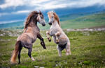 Stallions Fight For A Mare