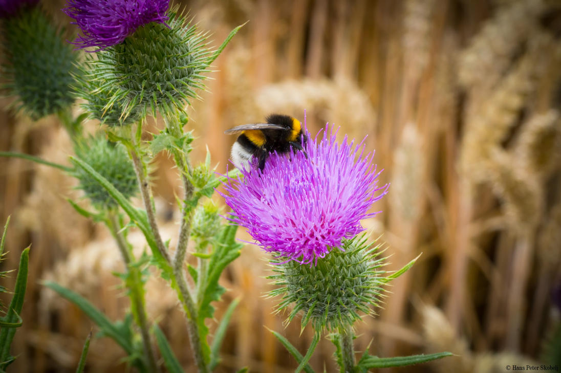 Bumblebee on a thistle by Blizzard1975