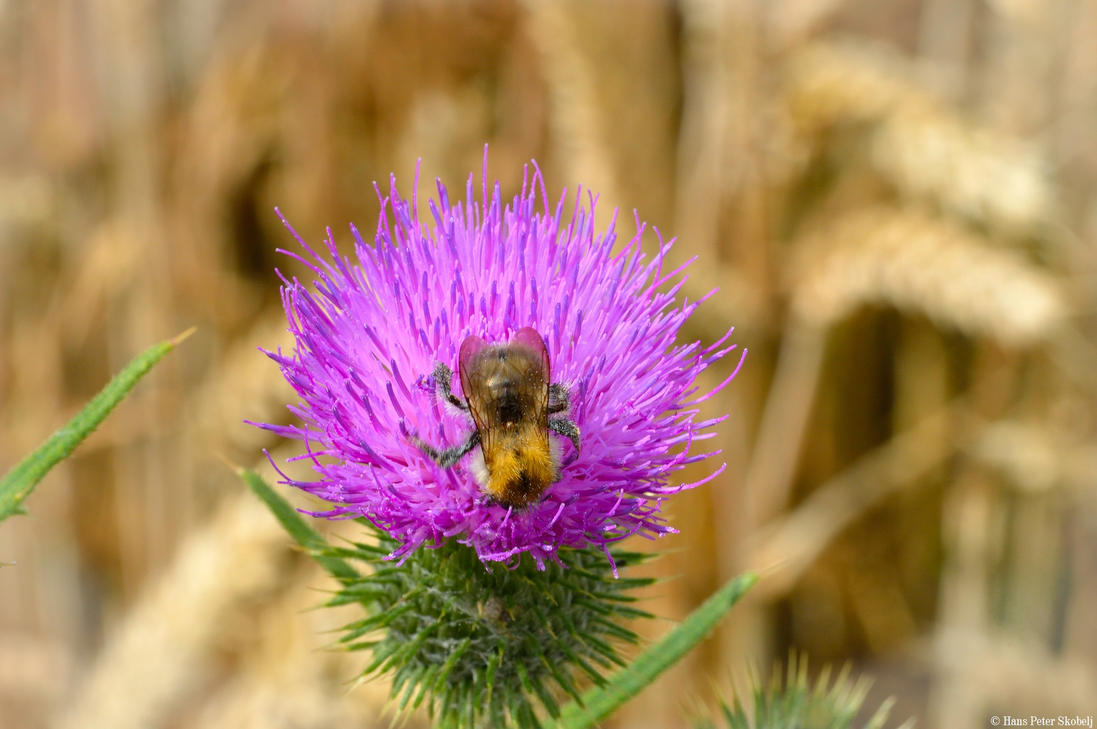 Bumblebee on a thistle II by Blizzard1975