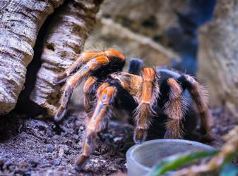 A tarantula in the terrarium by Blizzard1975