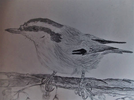 nuthatch sketch