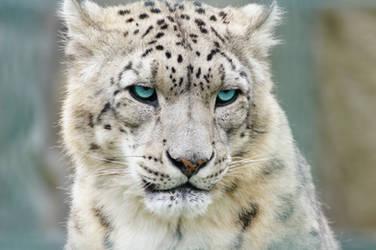 Snow leopard by LifeRhythm