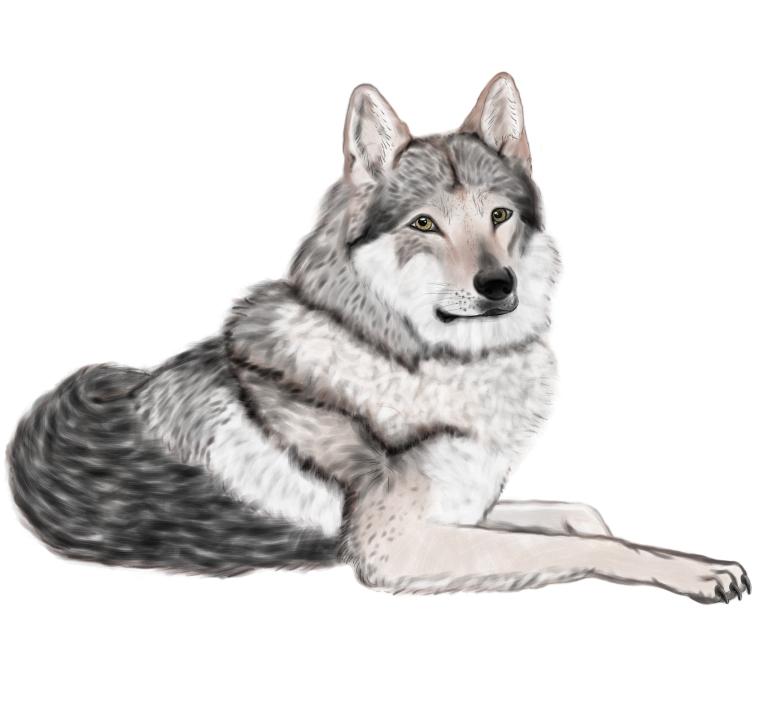 tschechoslowakischer wolfshund by buntschwarzsue on deviantart. Black Bedroom Furniture Sets. Home Design Ideas