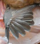 dead pigeon stock 7
