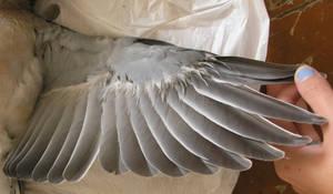dead pigeon stock 36