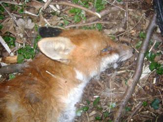 dead fox stock 1 by dark-dragon-stock