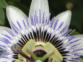passion flower stock 4