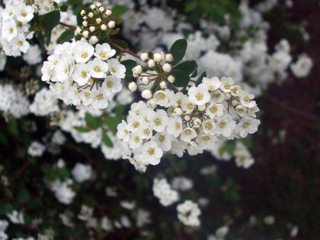 Small White Flowers By Porcelainkittykat On Deviantart