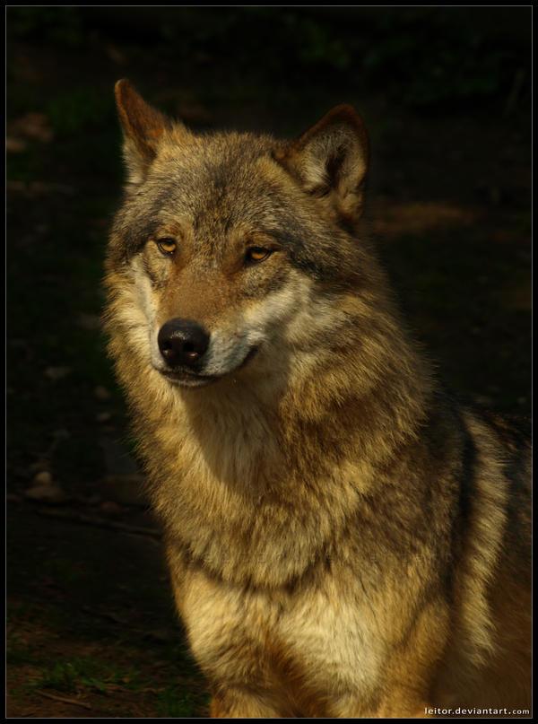 Lobo's portrait by Leitor