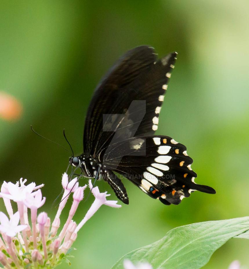 Butterfly_18 by Barakwolf