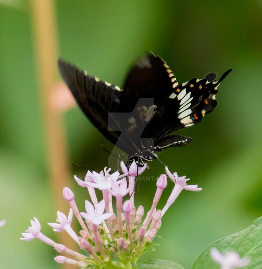 Butterfly_19 by Barakwolf