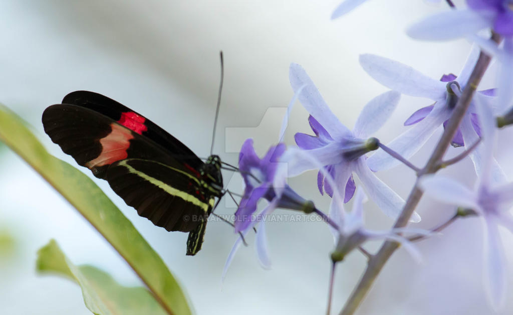 Butterfly_20 by Barakwolf