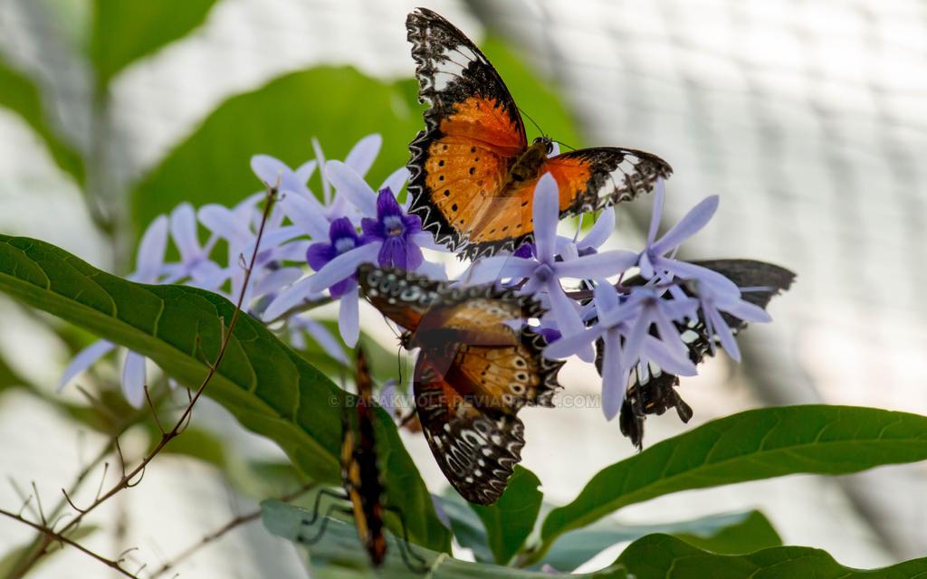 Butterfly_21 by Barakwolf