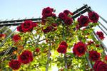 Roses Cascade by VeryBadGirl