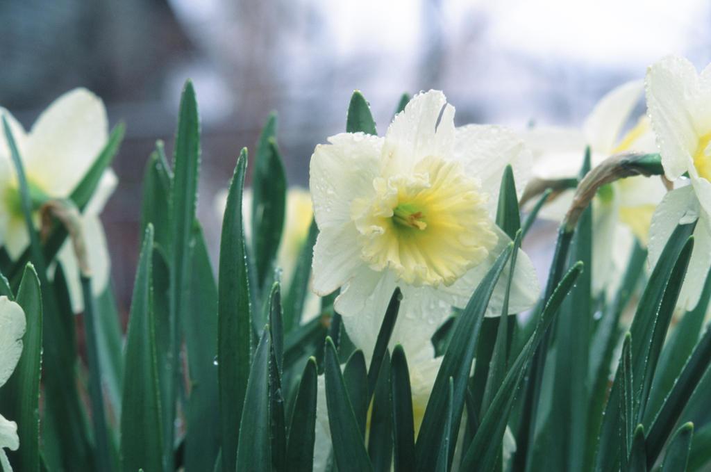 Wet Daffodils by Volk-oseba
