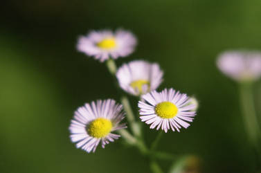 Tiny daisies 7/17