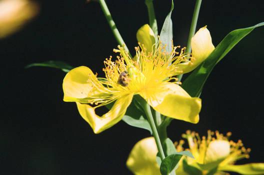 Hypericum sp. 7/17